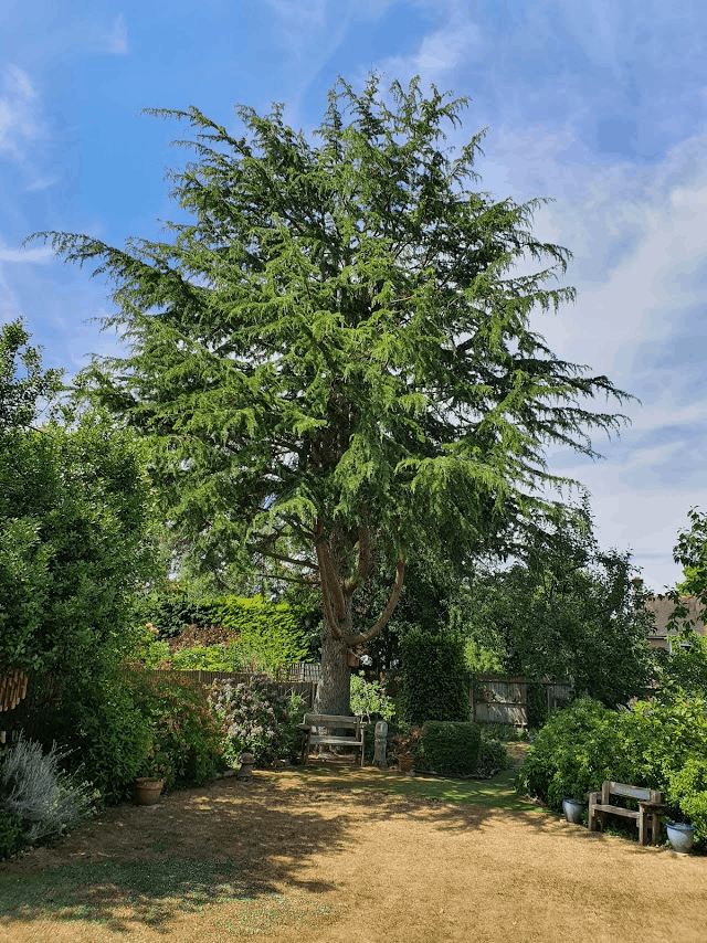 Magnificent Cedar tree: reduction, removal of dead wood and lifting.