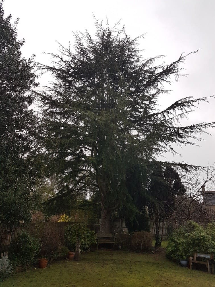 Magnificent Cedar tree: dominating the garden causing shade and competition to nearby plants and lawn.