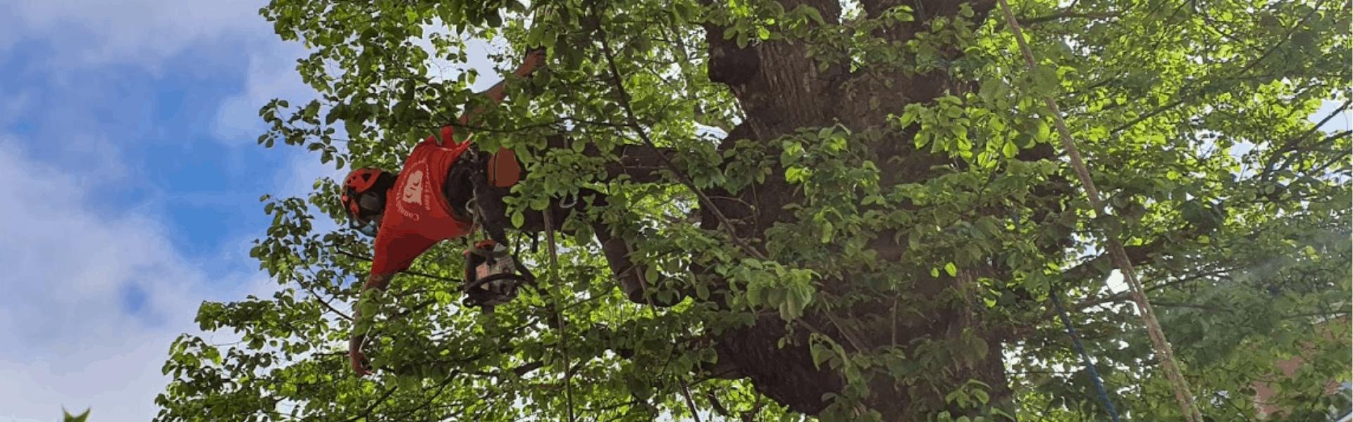 Climbing Arborist Surrey