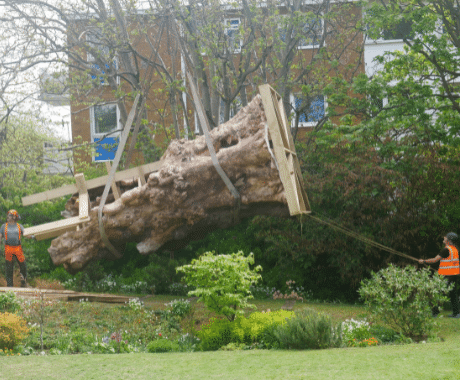 transporting 400 year old elm